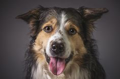 https://flic.kr/p/PVGZgw | Jazz | Jazz. Dog portraits in Milton Keynes, by Brian Tomlinson Photography: www.bt-photography.co.uk