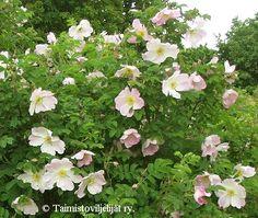 Rosa Pimpinellifolia-ryhmä  'Ristinummi' Tämä tai robusta