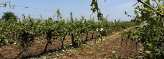 The effect of hail on a vineyard. 10 June 2014 Bordeaux vineyards are hit by severe hail storms once again.