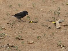 Galapagos, Santa Cruz, one of Darwin's finches. Don't ask: I was told, I forgot.