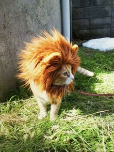 small kitty with the heart of a lion. How about a lion instead of a panda cat? Cute Kittens, Cats And Kittens, Cats Bus, Tabby Cats, Costume Chat, Pet Costumes, Halloween Costumes, Kitty Costume, Costume Ideas