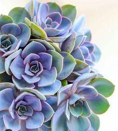 Secret to Colorful Succulents? Stress Secret to colorful succulents = stress!Secret to colorful succulents = stress! Succulent Gardening, Planting Succulents, Garden Plants, Indoor Plants, House Plants, Planting Flowers, Succulent Plants, Succulents Art, Succulent Containers