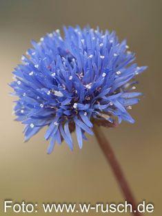 Jasione laevis 'Blaulicht' (Blauköpfchen, Sandglöckchen)