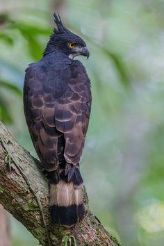 Photograph Blyth& Hawk Eagle by Jon Chua on Pretty Birds, Beautiful Birds, Animals Beautiful, Nature Animals, Animals And Pets, Cute Animals, Interesting Animals, Unusual Animals, Hawk Bird