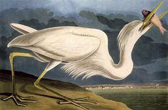 Audubon, Great White Heron Fine Art Print