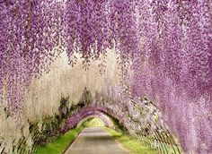 artificial but beautiful wisteria archways