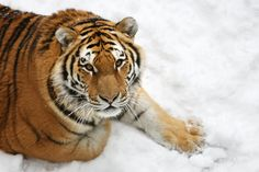 25 Wild Bengal Tiger Pictures