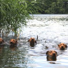 Airedales do love water and swimming is great fun for them, what AWSOME dogs are Airedales