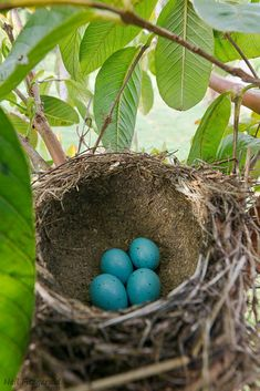 Song thrush. Nest with four eggs. Kerikeri, Northland © Neil Fitzgerald