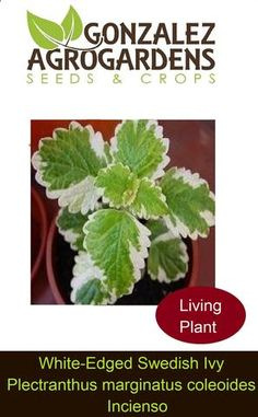 200 Mojito Cuban Mint Seeds Heirloom NON-GMO Rare Super Fragrant US Grown