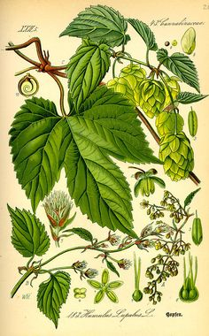 Mike is Bored: Great hops(humulus lupulus) illustration plates from very old botany books Vintage Botanical Prints, Botanical Drawings, Botanical Art, Illustration Botanique, Plant Illustration, Botany Books, Hops Plant, Beer Hops, Plant Drawing