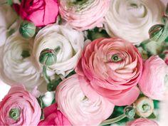 Bulbs Tecolote Ranunculus Pastel Mix Bulbs For Sale Online – Easy To Grow Bulbs - Allium Ampeloprasum Bulbs Ranunculus Centerpiece, Ranunculus Boutonniere, Ranunculus Wedding, White Ranunculus, Pink Peonies, Pink Roses, Ranunculus Flowers, Hydrangea Bouquet, Peonies Bouquet