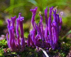 Purple fungi