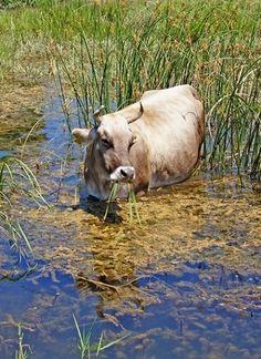 Cow grazing in the wetland, Small Prespa lake - islet of Saint Achileios, Greece - Photo by bilwander Parthenon, Acropolis, Seasons In The Sun, Republic Of Macedonia, Black Sand, In Ancient Times, Greece Travel, Plan Your Trip, Mykonos
