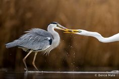 HBW World Bird Photo Contest - Second Edition | HBW Alive-Triumph of mind Although the Grey Heron is stronger than the Great White Egret, the latter has learned that Grey Herons are defenceless when they have a fish in their beak. With their fast reflexes the Great White Egrets snatch the food from them. The Grey Herons have absolutely no chance in this struggle.