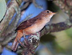 Cambaxirra-cinzenta (Odontorchilus cinereus)