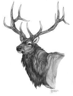 Beautiful pencil drawing of a bull elk: