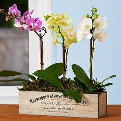 Assorted Mini Orchid Trio and other flowers & plants at ProPlants.com