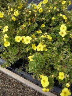 Potentilla fruticosa 'Goldfinger' / Fünffingerstrauch 'Goldfinger'