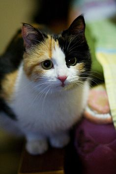 Baby the Lovely Calico Kitty