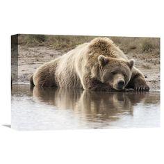 Global Gallery Grizzly Bear Sleeping on Shore Katmai National Park Alaska Wall Art - GCS-395431-1624-142