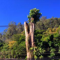 Natureza persistente! Mesmo cortada grande árvore renasce!