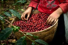 Coffee picker's full basket of coffee cherries on a coffee farm in western El Salvador. photo by Anthony John Coletti