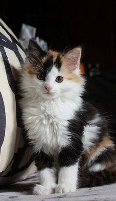 I love calico cats 💕 Want more cute kittens? Click the photo for more! - - - I love calico cats 💕 Want more cute kittens? Click the photo for more! I love calico cats 💕 Want more cute kittens? Click the photo for more! Cute Cats And Kittens, I Love Cats, Crazy Cats, Cool Cats, Kittens Cutest, Kittens Playing, Dwarf Kittens, Cute Kitten Pics, Kittens Meowing