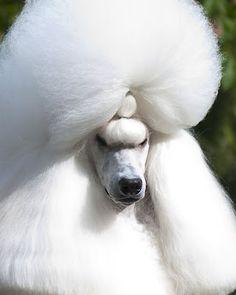 How do you like MY hair? GCH CH Brighton Lakeridge Encore