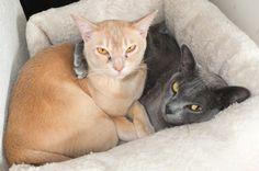 Burmese Cats, by Heikki Rantala