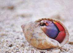 Hermit Crab, Beach Photography, Seashell Photo, Nautical Prints