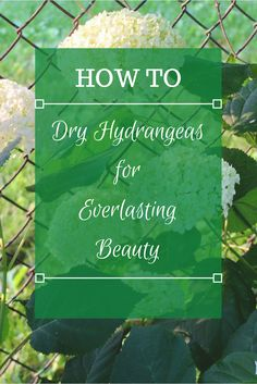 Let me show you how to dry hydrangeas the easy way! In just a week, you'll have beautiful dried blooms to enjoy for months.