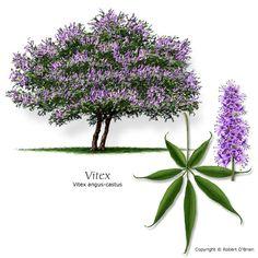 Vitex (Chastetree)