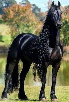 Beautiful Friesian horse with amazing long mane. Baby Horses, Cute Horses, Pretty Horses, Horse Love, Wild Horses, Draft Horses, Beautiful Horse Pictures, Most Beautiful Horses, Animals Beautiful