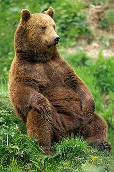 bear sitting - Google Search