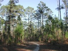 The Longleaf Pine is the state tree of Alabama and North Carolina. It was adopted by Alabama on 1949 (clarified 1997) and North Carolina in 1963.