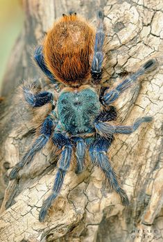 Tarantula by Bullter on deviantART Amazing Animals, Most Beautiful Animals, Beautiful Creatures, Spider Species, Types Of Spiders, Itsy Bitsy Spider, Insect Photography, Beautiful Bugs, Insect Art