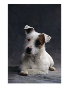 Jack Russell- how can you not love this breed?