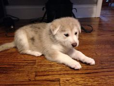Husky German Shepherd Mix -My baby at 5 weeks