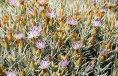 Sardegna flora: infiorescenza di fiordaliso