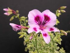 Scented Pelargonium 'Annsbrook Beauty'