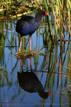 Pukeko is a name, derived from the Māori language, for the Purple Swamphen - New Zealand native bird Kinds Of Birds, Love Birds, Beautiful Birds, Nature Sauvage, Kiwiana, Thinking Day, Mundo Animal, Wild Birds, Bird Watching