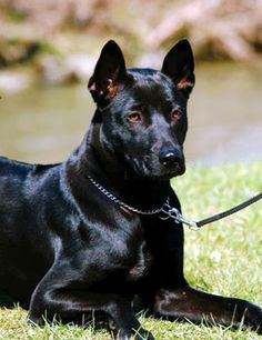 Seriously the most beautiful dog. I get it why this dog makes it rain. Big Dogs, I Love Dogs, Dogs And Puppies, Doggies, Rare Dogs, Rare Dog Breeds, Dog Bucket List, Thai Ridgeback, Most Beautiful Dogs