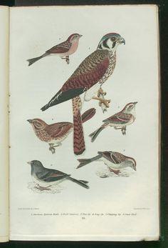 American Sparrow Hawk. - Falco Sparverius.