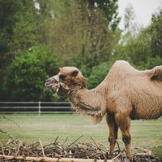 There's no bad weather - only bad clothing #zoo #sonyalpha #a7ii #70-200 #animals #camel #animalphotography #philippkreis