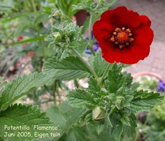 Potentilla (cinquefoil) : flamenco Hardy Perennials, Nursery, Spring, Flowers, Flamingo, Day Care, Baby Rooms, Baby Room, Kid Rooms
