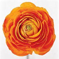 DIY or Don't!: {Tutorial} Paper Ranunculus Flower - Free Download!