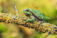 Tree Frog II by Dirk Seifert on 500px