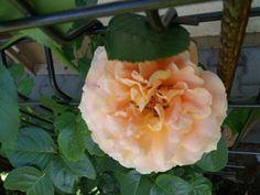 Róża pnąca Polka