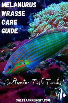 Learn how to care for the Melanurus Wrasse saltwater aquarium fish! Aquarium Setup, Home Aquarium, Aquarium Ideas, Saltwater Aquarium Fish, Saltwater Tank, Fishing For Beginners, Fish Care, Habitats, Marine Fish